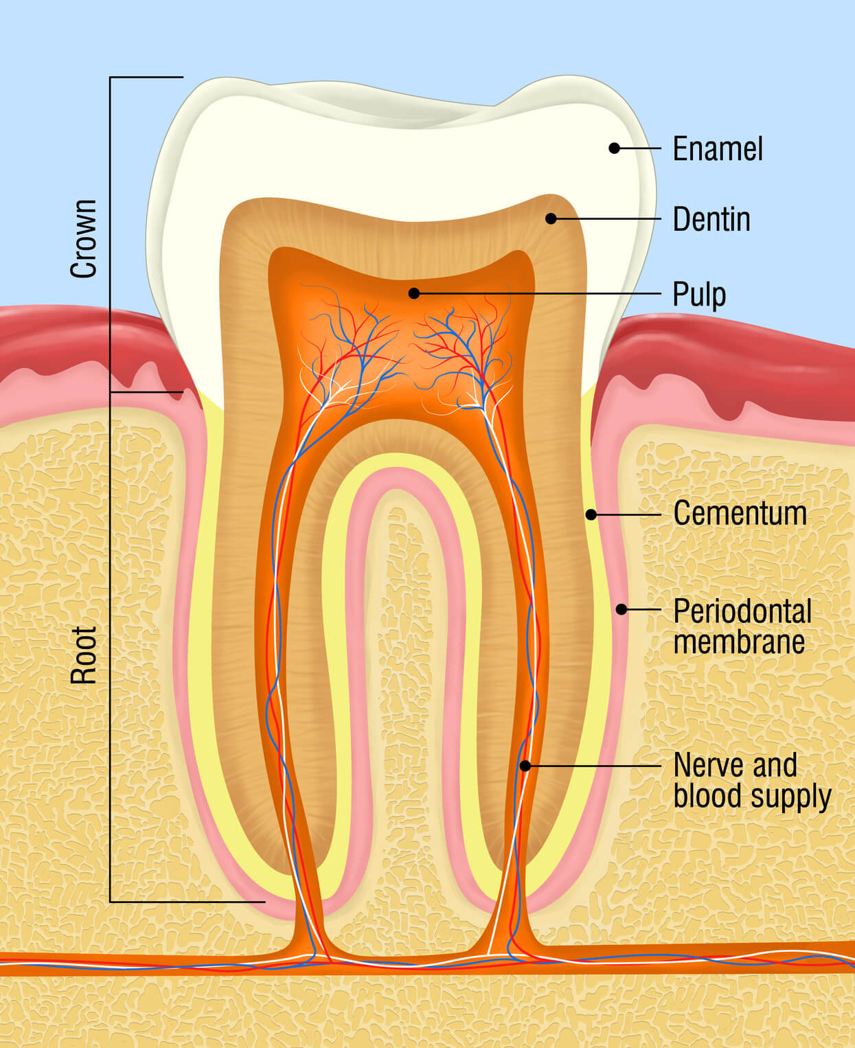 cross-section of the human teeth